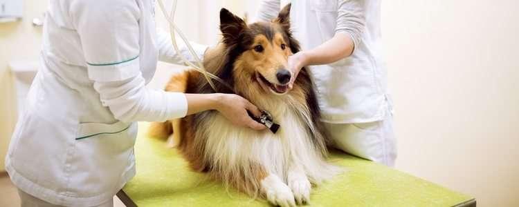 métodos de cría para perros