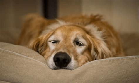 perro estreñido