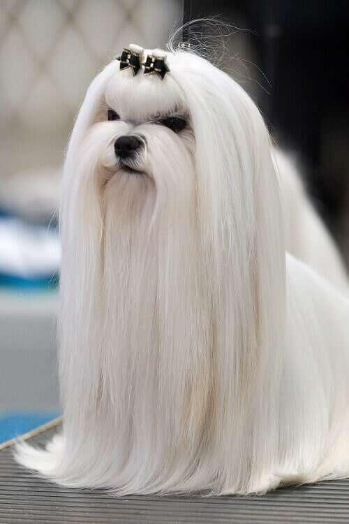 perros maltés